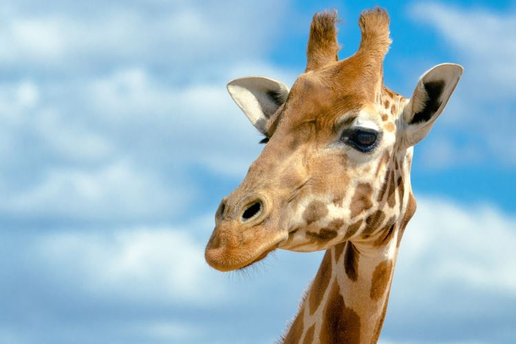 stock-photo-6775626-giraffe